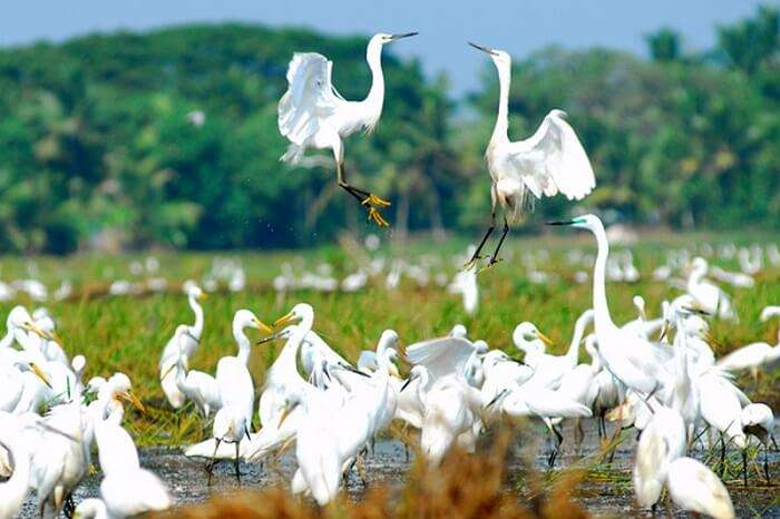 A flight of birds playing in Kumarakom Bird Sanctuary