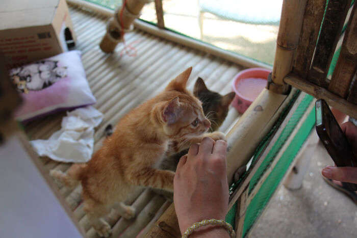 A rescue kitten at Lanta Animal Welfare in Thailand