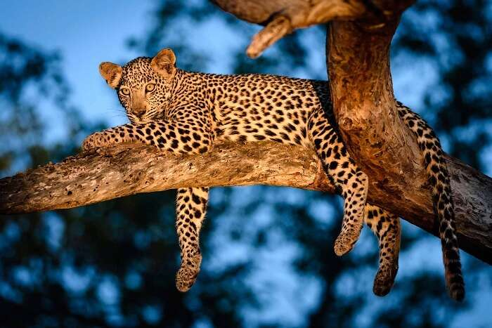 A leopard lounging at the top of the tree on Leopard Trail of Night Safari in Singapore