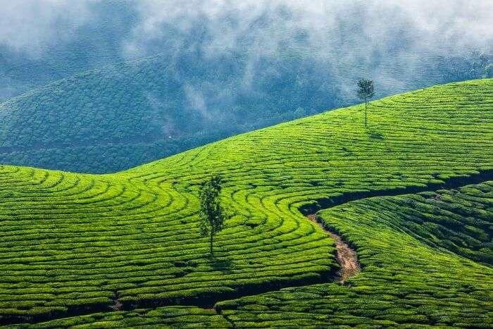 The splendid tea estates of Munnar