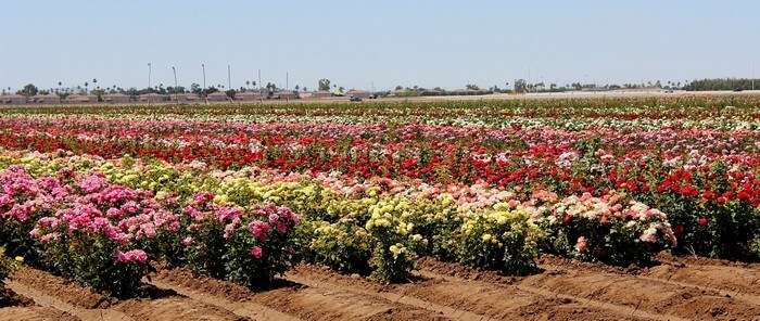 A blooming rose farm is one of the best places to visit in Pushkar