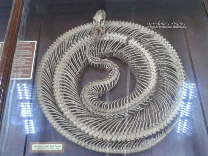 Skeleton of a Python on display at The Natural History Museum