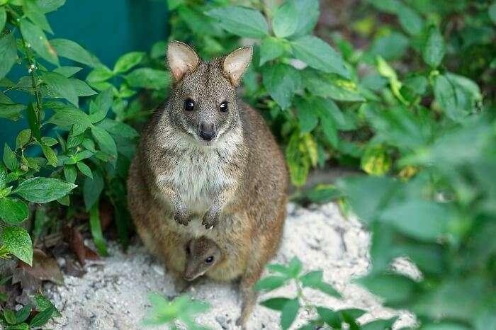 A cute mother wallaby hiding its equally cute offspring in its pouch at Wallaby Trail in Singapore Night Safari