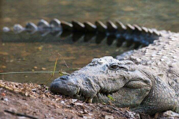 A crocodile sunbathing in Trevor's Tank Crocodile Park in Mount Abu