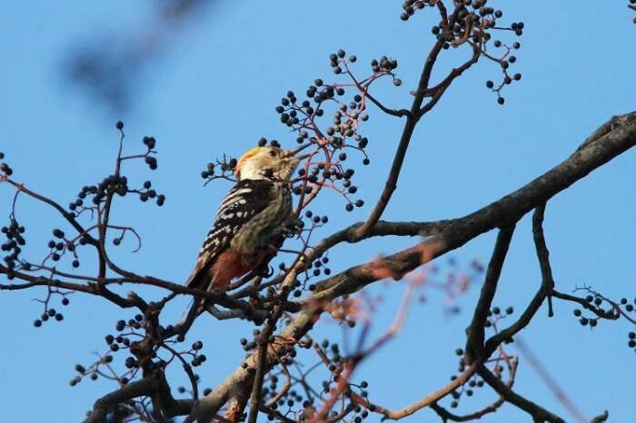 A brown-fronted woodpecker spotted in the Benog Wildlife sanctuary