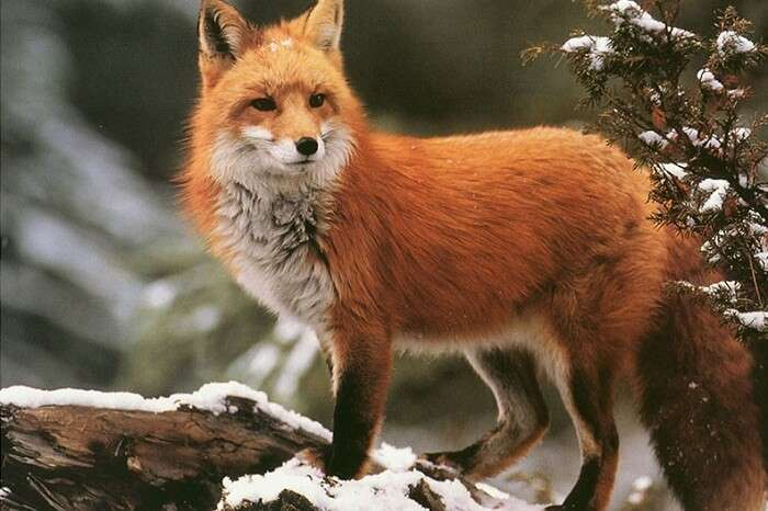 A snap of a fox in the Gulmarg Biosphere Reserve