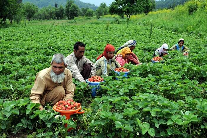 A group of fruit growers plucking Strawberries at Gulmarg