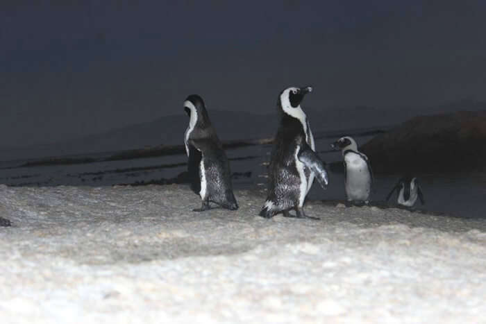 Penguin sighting at Camps Bay