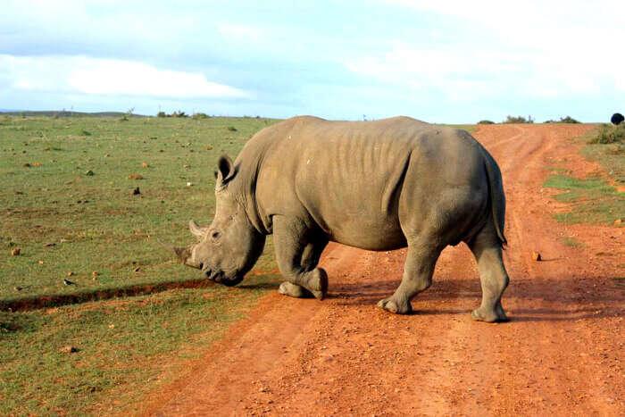 Spotting a Rhino in Oudtshoorn