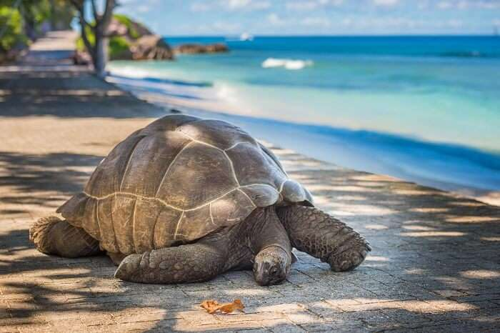A giant tortoise relaxing at Moyenne island