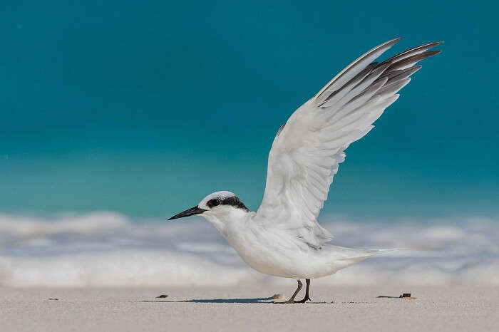 A Saunders Tern at a beach on the Bird Island in Seychelles
