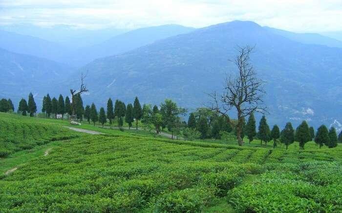 Temi Tea Garden in Ravangla casts a spell