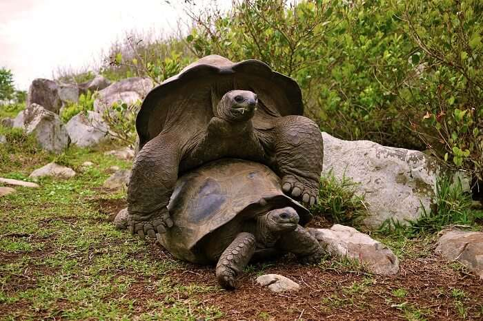 Two tortoises mating at the Aldabra island in Seychelles