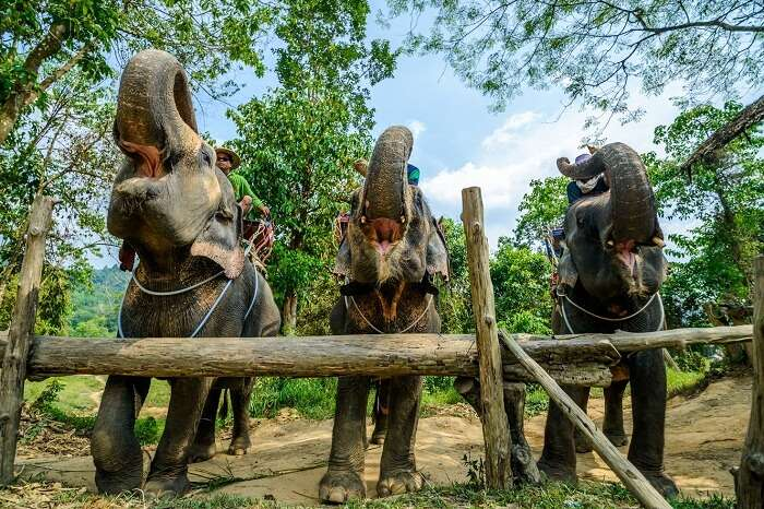 Wild elephants at a sanctuary in Phuket