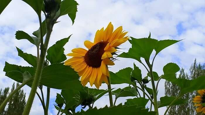 Sunflower in Ladakh