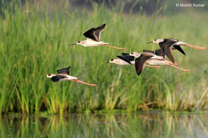 Black Winged Stilts in flight at Nawabganj Bird Sanctuary
