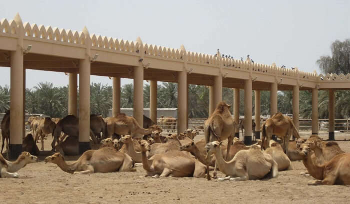 Camels resting at Camel Breeding Farm at Bikaner in Rajasthan