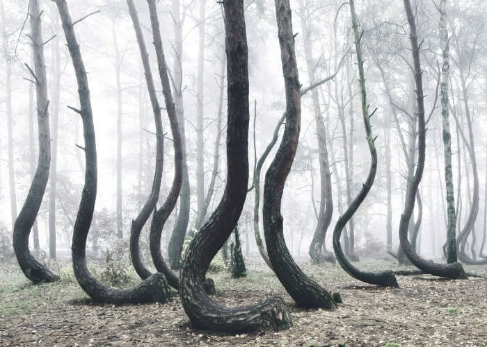 Collection of curved trees in Poland