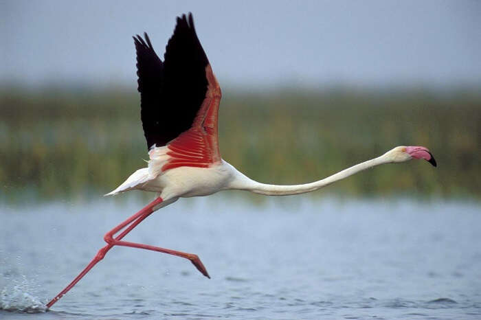 A flamingo ready to dive at the prey at the Nal Sarovar Bird Sanctuary