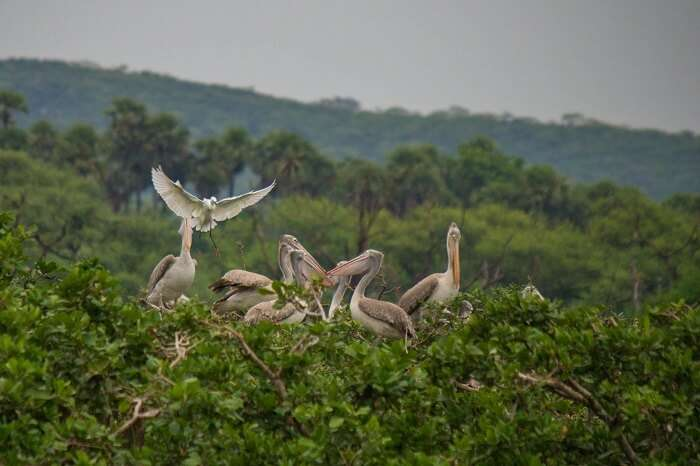 Flock of Spoonbills at Vedanthangal Bird Sanctuary