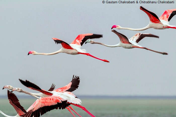 A flock of flamingos flying over the Pulicat lake at the Pulicat Lake Bird Sanctuary in Andhra Pradesh