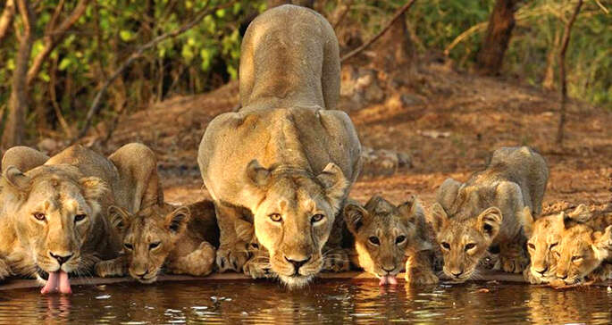 Get ready for thrilling adventure in Gir Forest