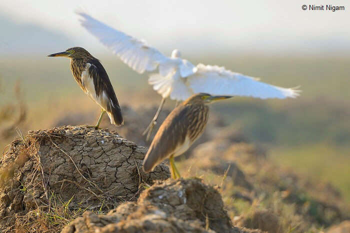 Indian Pond Heron or Paddybird and Great Egret on Her Back in Najafgarh Bird Sanctuary