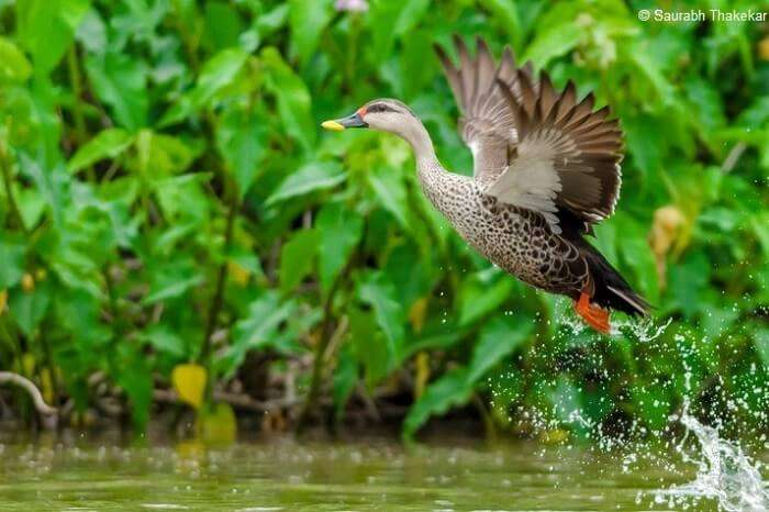 A spot-billed duck takes flight over the water body at the Jawaharlal Nehru Bustard Sanctuary