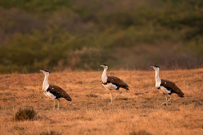 Bustards caught walking through the Kutch Great Indian Bird Sanctuary