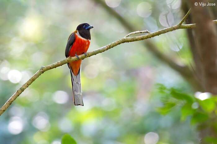 A Malabar Trogon perched on a tree branch at the Salim Ali Bird Sanctuary
