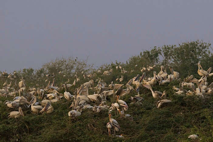 Scores of pelicans sitting on the grassy lands of Uppalapadu Bird Sanctuary