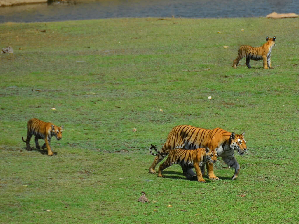 Enjoy a thrilling experience at Pench National Park