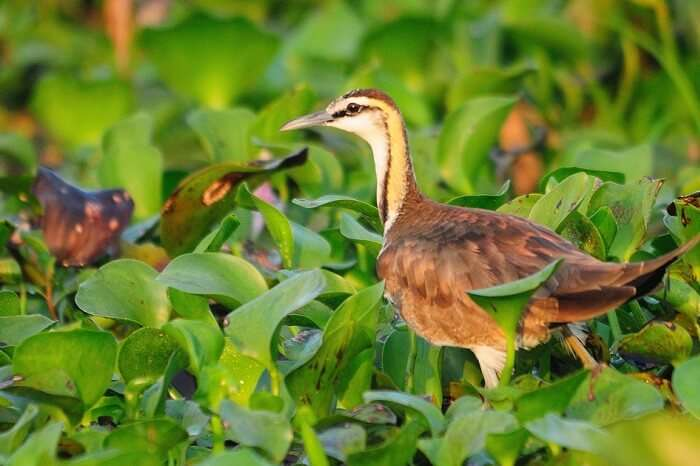 A beautiful shot of a pheasant-tailed jacana at the Kumarakom Bird Sanctuary in Kerala