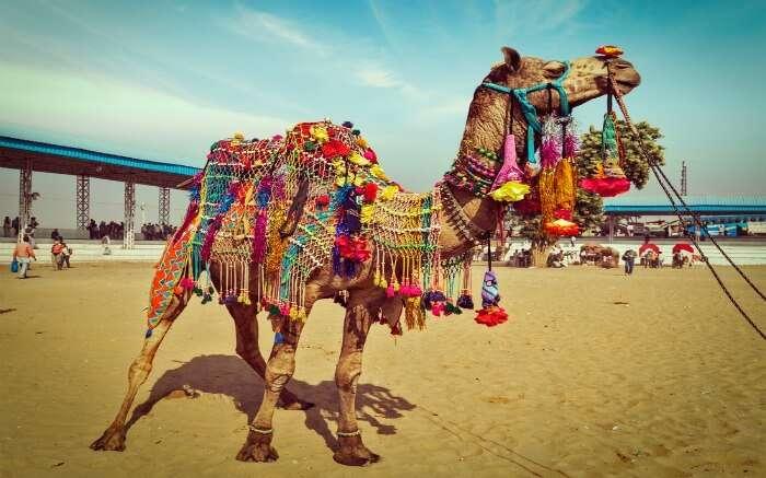 A colorfully decorated camel in Pushkar Camel Fair