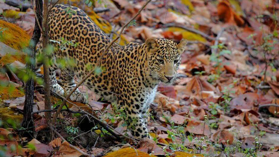 Spot leopard at Satpura National Park
