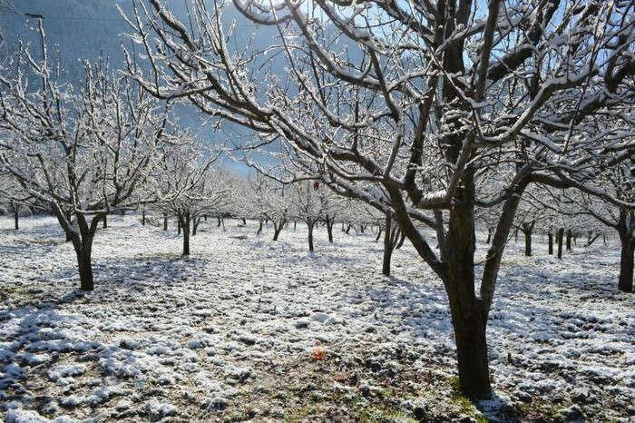 Apple trees in winter in Kullu-Manali valley