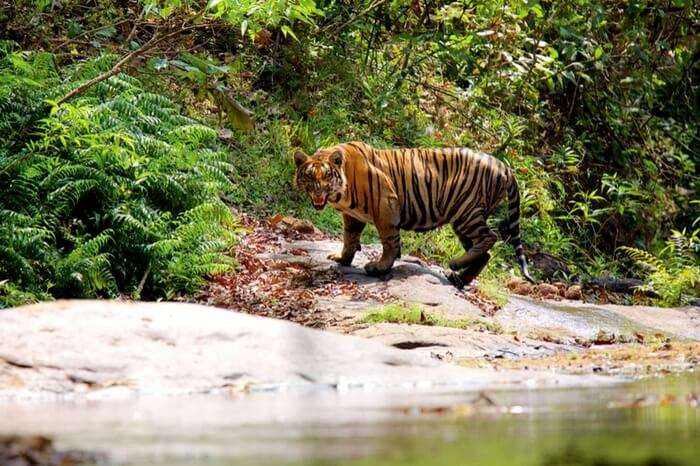 Witness the king of food chain at Parambikulam Tiger Reserve