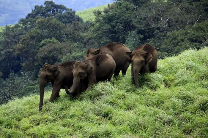 Elephants strolling at Periyar Wildlife Sanctuary
