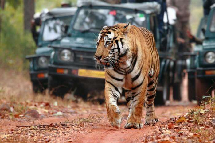 A tiger on the prowl in Ranthambore National Park