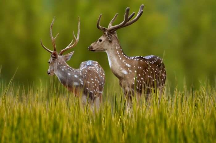 A pair of deer in the Bandhavgarh National Park