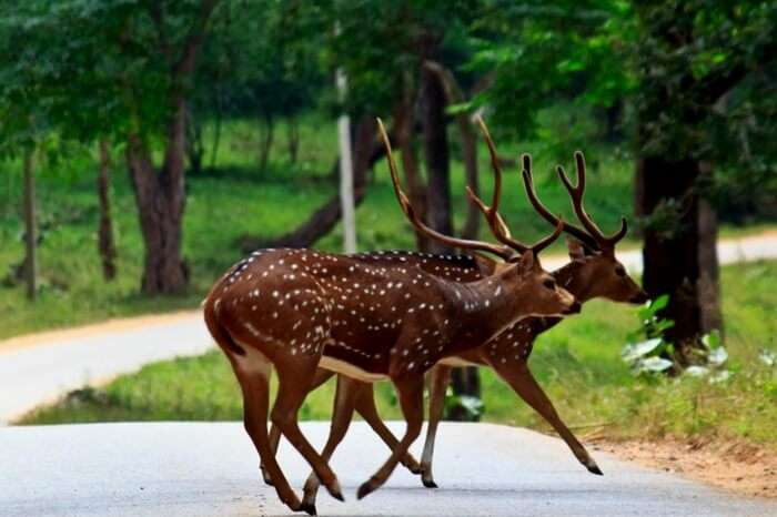 A pair of spotted deers at Muthanga Wildlife Sanctuary