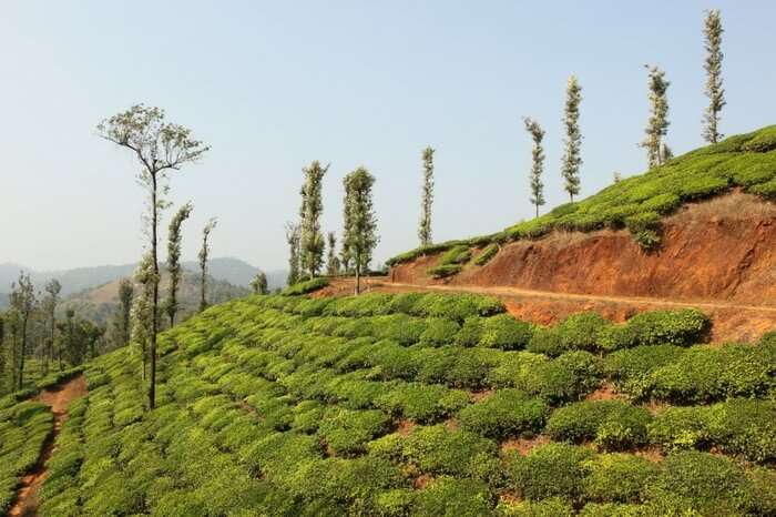 Lush green tea estate in Wayanad