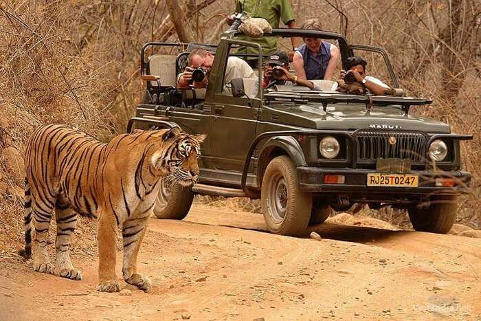 Tourists clicking pictures of a tiger during Wildlife Safari in Rajasthan