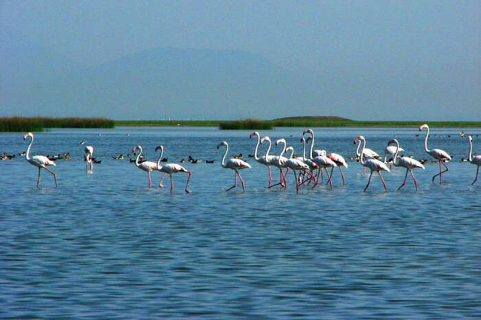 A long fleet of flamingos stand tall in the Chilika lake at the Chilika Lake Bird Sanctuary