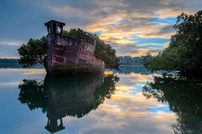 The sprouting mangrove trees through the SS Ayrfield in Sydney