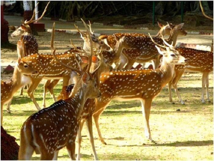 Deers in Andaman islands