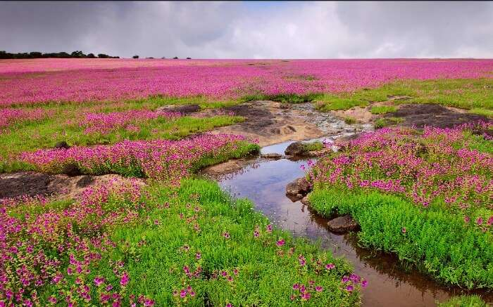 Colorful flowers in Kaas Plateau