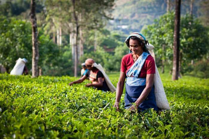 Women plucking tea leaves in Sri Lanka