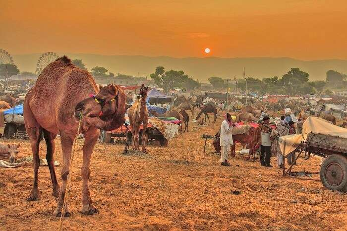 People gather in Pushkar to attend one of the most popular fairs and festivals in Rajasthan