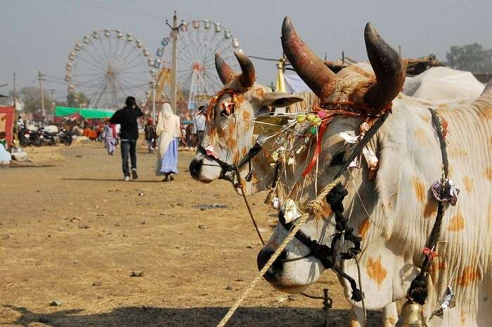 A snap from the Chandrabhaga Cattle Fair in Rajasthan